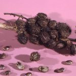 WombMedicine_How to use castor oil for womb healing, immune support and scar tissue repair